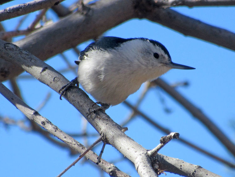 White-breasted nuthatch perching on tree branch showing profile of beak against blue sky Colorado Beak Animal Themes Animal Wildlife Animals In The Wild Beauty In Nature Bird Branch Close-up Day Focus On Foreground Low Angle View Nature No People Nuthatch One Animal Outdoors Perching Sky Tree