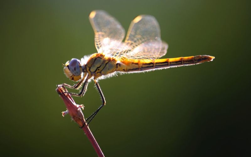 Dragonfly perching on plant stem