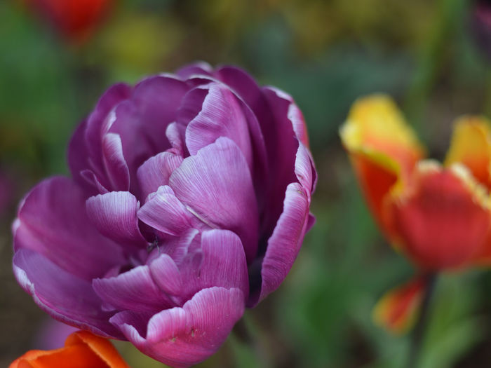Pretty in Pink Beauty In Nature Blooming Close-up Day Flower Flower Head Focus On Foreground Fragility Freshness Growth Macro Nature No People Outdoors Petal Plant Purple Tulip Purple With White Edges Purple-pink Tulip Tulips Purple Flower