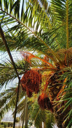 Palm Tree Tree Naturelovers Plants Like4like Likeforfollow Likesforlikes Green Earth Bizerte