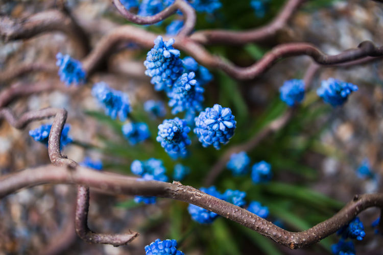 Blue muscari blooming Muscari A Large Group Of Objects Abundance Beauty In Nature Blue Blue Muscari Branch Close-up Day Flower Flower Head Fragility Freshness Grape Hyacinth Growth Nature No People Outdoors Plant Spring Spring Flowers Tree