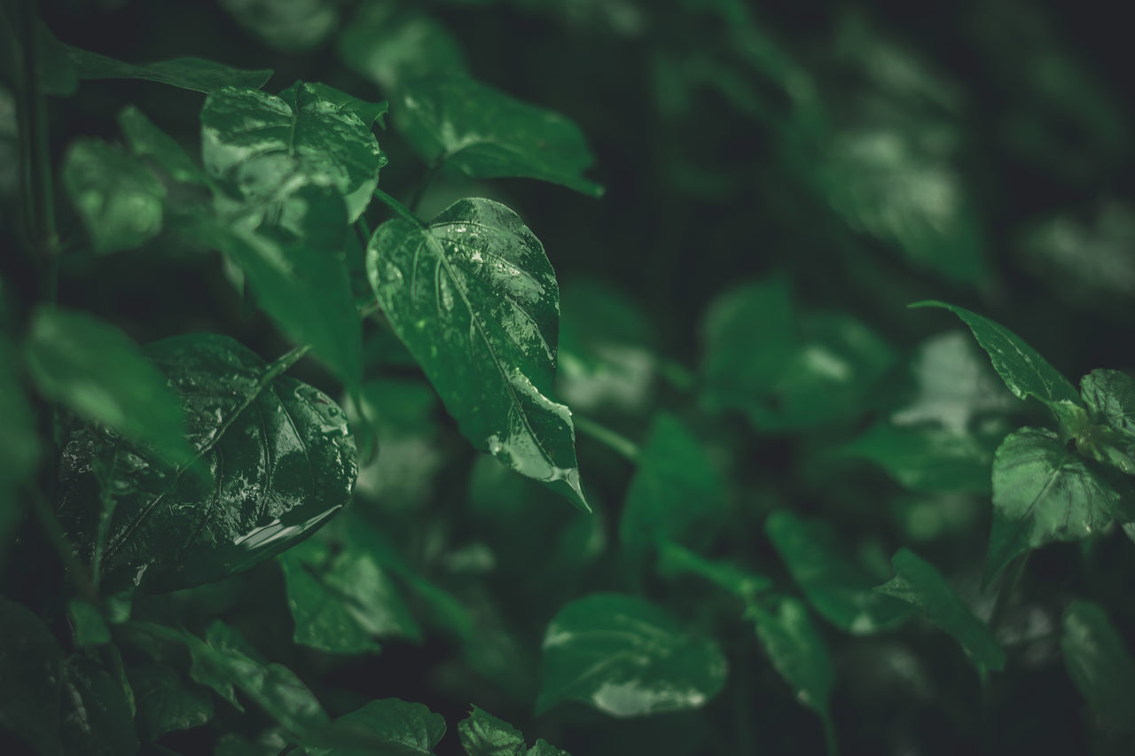 leaf, plant part, green color, plant, no people, growth, close-up, selective focus, nature, beauty in nature, freshness, day, food and drink, outdoors, full frame, food, water, green, backgrounds, leaves
