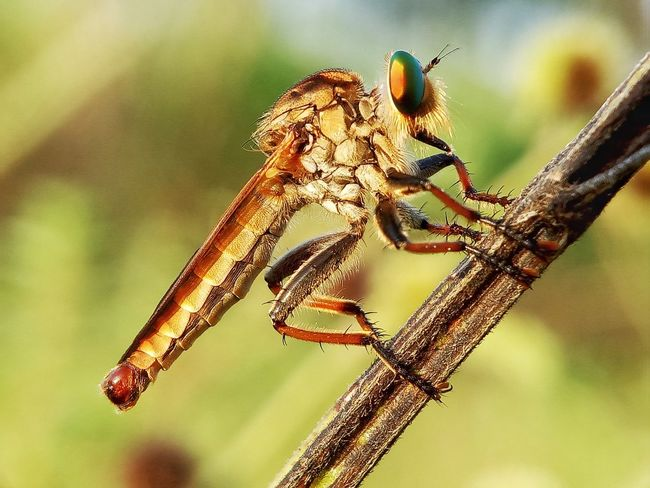 Robber fly Macro Macro Photography Insect Serangga Robberfly Predator Insect One Animal Animal Themes Animals In The Wild Animal Wildlife Focus On Foreground No People Nature Close-up Day Outdoors Beauty In Nature