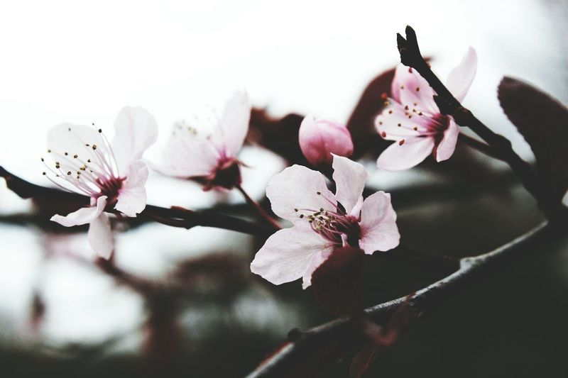 Sakura Blossoms  Muted Colors Tree Spring Springtime Baby Pink Flower Baby Pink Branch Ireland Cork Close Up Day No People Nature Minimal Calm