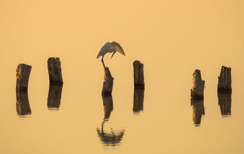 Chinese Egret On Wood Over Calm Lake During Sunset