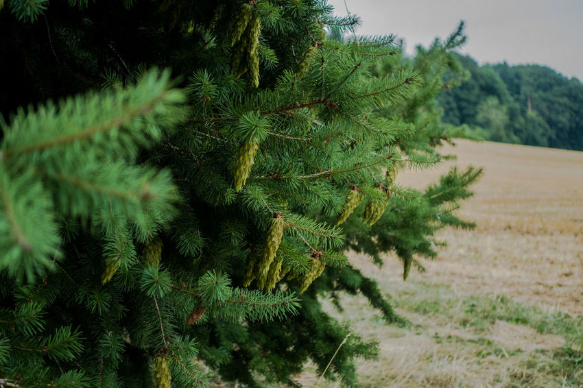 Beauty In Nature Close-up Coniferous Tree Day Field Fir Tree Focus On Foreground Green Color Growth Land Landscape Leaf Nature No People Outdoors Plant Plant Part Scenics - Nature Sky Tranquil Scene Tranquility Tree