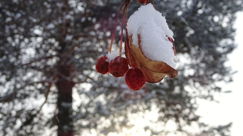 winter red berry ural russia EyeEm Selects Snow Frost Tree Ice Amazing Day Winter Red Color Redberries Bird Photography Ural January Tree_collection