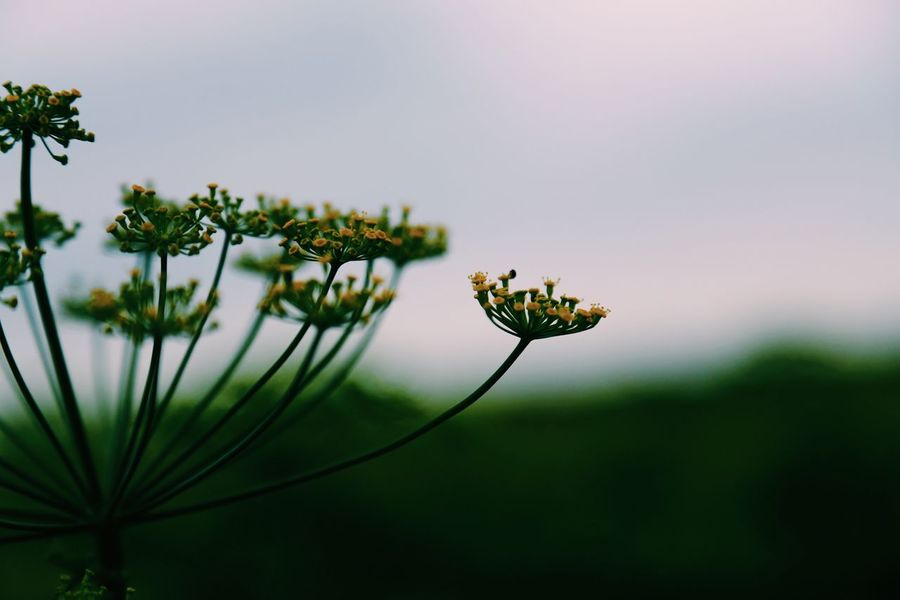 Silhouette of a dill flower Dill Flowers Yellow Flower Stem Stems Copyspace Sky Copy Space Botany Growing Plants Flora Dill Full Frame Seeds Herb Botanic Selective Focus Close-up Plant Growth Flower Fragility Focus On Foreground Flowering Plant Insect No People Nature Close-up Beauty In Nature Vulnerability  Invertebrate
