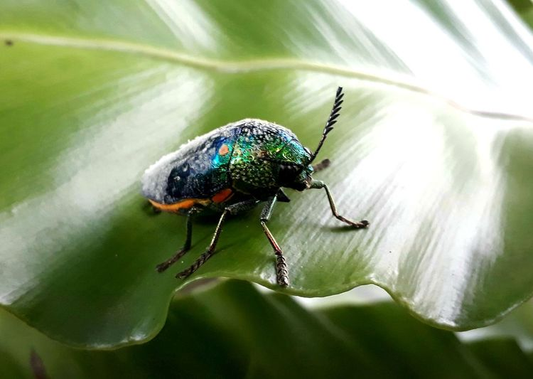 Beautiful color on the wing of the beetle. Leaf Insect Spider Spider Web Close-up Arachnid Arthropod Chachoengsao Cocoon Wasp Prey Mosquito Invertebrate Jumping Spider Beetle Fly Animal Leg Housefly Butterfly - Insect Blooming Animal Antenna