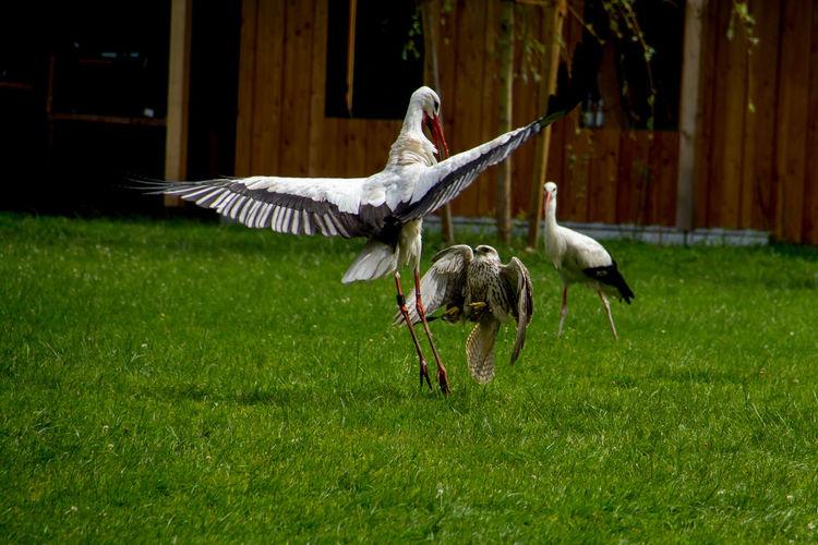 White storks on grassy field