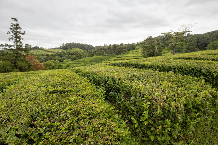 A rainy day in summer at a tea plantation in the Azores. Sao Miguel Portugal Azores Island Archipelago Tea Gorreana Production Factory Rows Hedges Europe European  Black Green Travel Destination Tourism Tour Camellia Sinensis Plantation Agriculture Lanscape Farm Organic