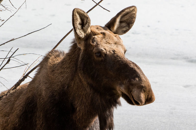 Alaska Animals Animals In The Wild Moose Nature Wildlife Wildlife & Nature