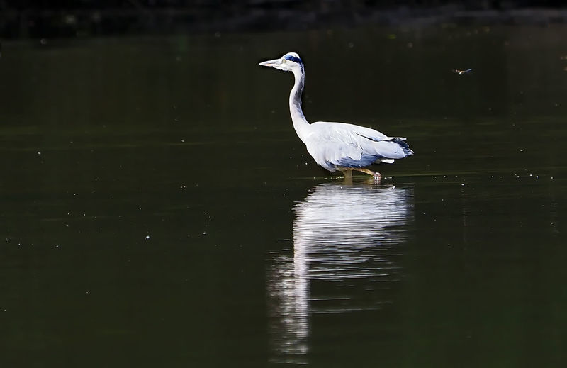 Gray heron in