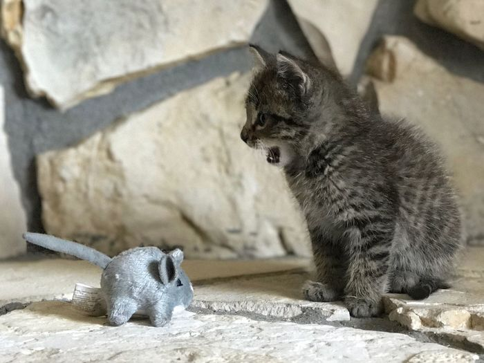 Little tabby kitten roaring at a stuffed mouse toy sitting on the fireplace EyeEmNewHere Roaring Roar Kitten Adorable Cat  Fireplace Mouse Toy Domestic Cat Pets Mammal Animal Themes Feline No People Day Domestic Animals One Animal Indoors  Close-up EyeEmNewHere