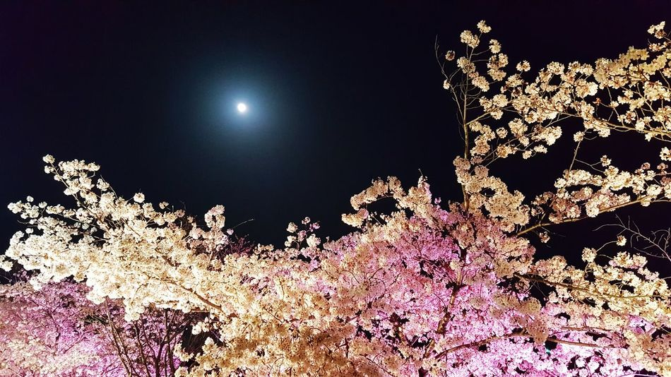 Pink Color Flower Flowernature Growth Tree Nature Flower Head Plum Blossom Red Color Leaf Green Color Astronomy Illuminated Moon Star - Space Space Galaxy Sky Close-up Half Moon Full Moon Planetary Moon Moon Surface Moonlight