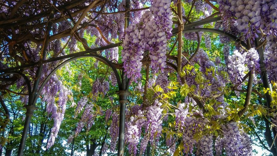 Wisteria Rivoli Spring Tree Low Angle View Growth Beauty In Nature Nature Branch Full Frame Day Backgrounds No People Green Color Flower Outdoors Tree Trunk Forest Fragility Freshness Close-up Sky