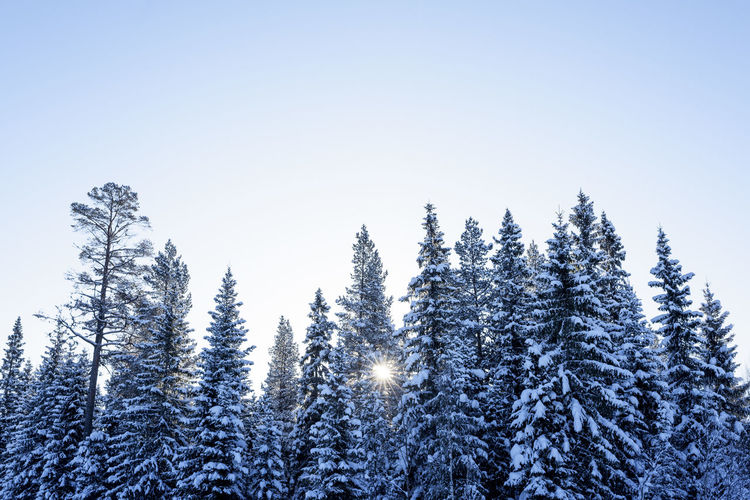 Low angle view of trees against clear sky during winter