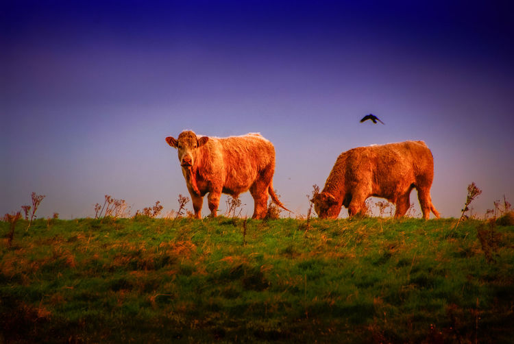 Cows grazing on field against clear sky during sunset