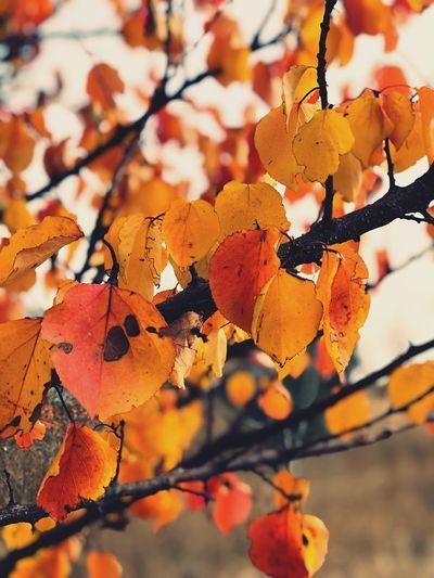 Close-up of orange leaves on tree