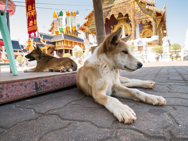 Animal Animal Themes Architecture Browndog Building Exterior Built Structure City Cute Dog  Cute Pets Day Dog Domestic Animals Domestic Dog Mammal No People One Animal Outdoors Pets Sitting Temple ThaiDog