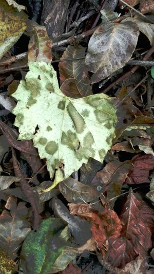 Leaf Camouflagepattern Rugged Country Rotting Nature Beauty In Nature Autumn Close-up Artphoto Awalkinthewild Pattern Beautyofdecay No People Insidetheforest