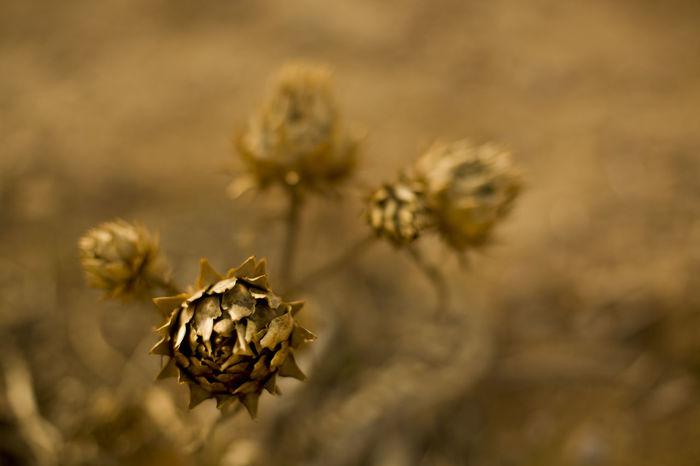 Cactus Desert Desert Plant Plants Brown Cardo Dead Plant Nature Outdoors