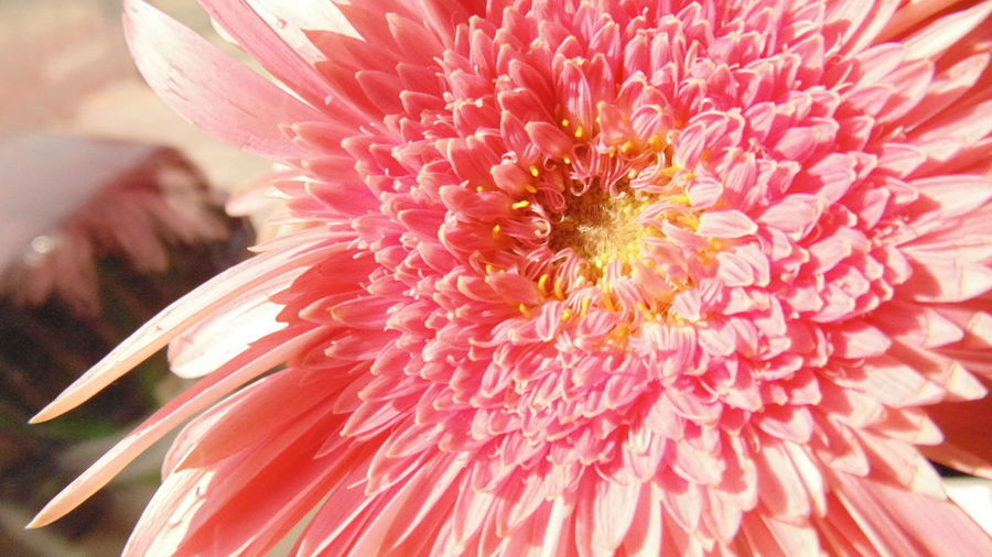 Gerberas Flowers, Nature And Beauty Flowers,Plants & Garden Flower Collection