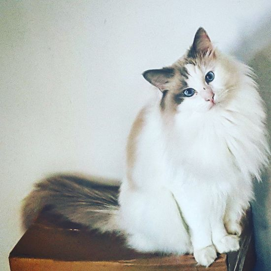 Pets Domestic Cat Animal Themes Domestic Animals One Animal Cat Indoors  Feline Mammal Looking At Camera Alertness Close-up Whisker Zoology Animal Head  Animal Eye At Home No People Ragdollcat Meow Purrfect Caturday Caturday Gato