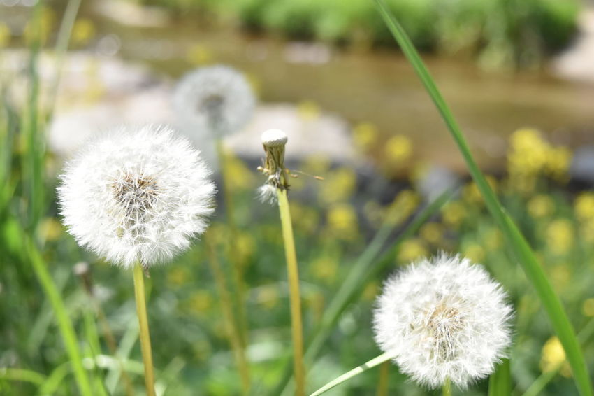 Flower Dandelion Nature Fragility Growth Uncultivated Dandelion Seed Plant Wildflower Flower Head Softness Beauty In Nature Focus On Foreground Freshness Close-up Springtime Outdoors Blossom Day Tranquility