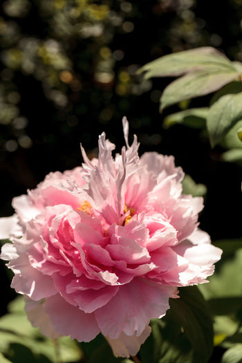 Pink flower on a peony tree called Paeonia suffruticosa in a botanical garden in spring Background Beauty In Nature Botanical Close-up Day Flower Flower Head Flowers Fragility Freshness Garden Nature Nature No People Outdoors Paeonia Suffruticosa Peony  Peony Flower Petal Petals Pink Pink Color Pink Flower Plant