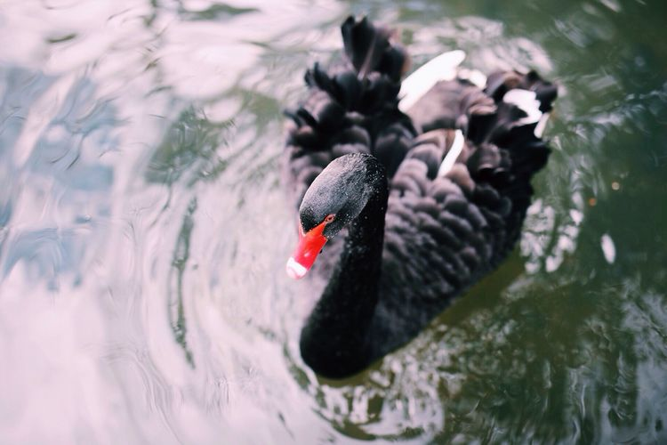 View Of Black Swan
