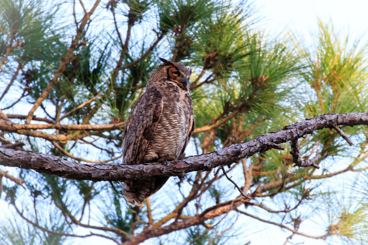 Great Horned Owl Animal Themes Animal Wildlife Animals In The Wild Beauty In Nature Bird Bird Of Prey Branch Day Low Angle View Mammal Nature No People One Animal Outdoors Owl Perching Sky Tree