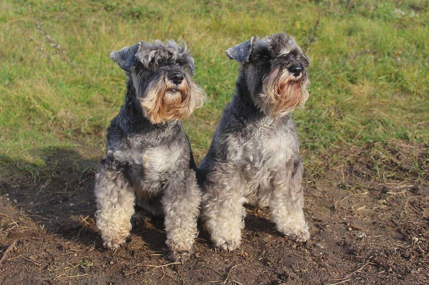 Miniature Schnauzer Schnauzerlife Show Dog Animal Animal Themes Canine Cute Dogs Dog Domestic Domestic Animals Grass Group Of Animals Lap Dog Mammal Miniature Schnauzer Pepper And Salt Nature No People Our Pedigree Dog Pets Purebred Sitting Small Two Animals