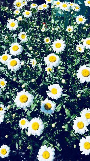 Flowering Plant Flower Plant Daisy Flower Head