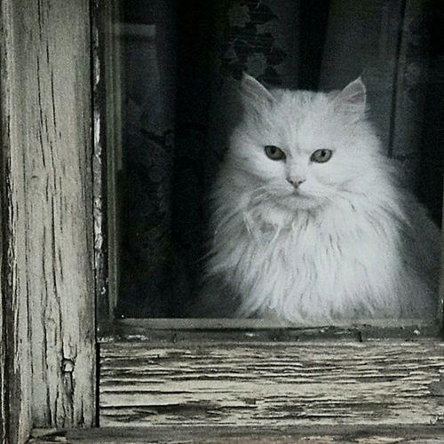 Cat Cat Eyes Across The Window