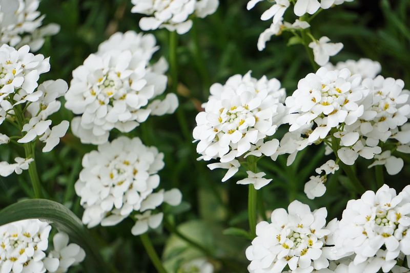 Flowering Plant Flower Freshness Plant Vulnerability  Fragility Beauty In Nature White Color Petal Close-up Growth Flower Head Inflorescence Nature Focus On Foreground No People Springtime Botany Day Outdoors