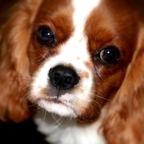 Portrait of JULIAN Dogs Of EyeEm EyeEm Selects Blenheim Cloe Indoors  Pets Domestic Animals Mammal Dog Animal Themes One Animal Close-up Animal Head  Portrait Indoors  No People Looking At Camera Cavalier King Charles Spaniel Day