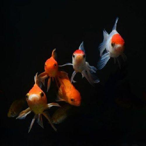 Nikon Nikkor Kitlens D5100 Dhaka Dhanmondi Bangladesh D5100 Flash Sb700 Strobe Sidelight Fish Goldfish Aquarium