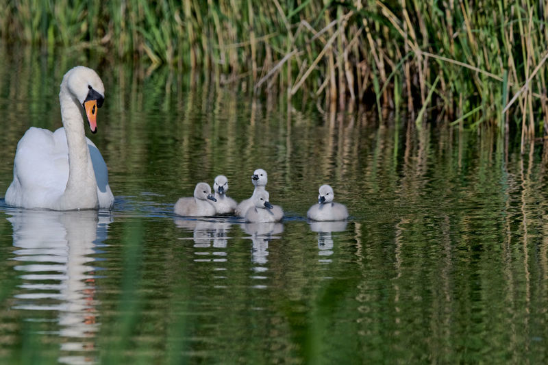In May Animal Themes Animal Wildlife Animals In The Wild Bird Day Lake Nature No People Outdoors Reflection Swan Swimming Togetherness Water Waterfront Young Animal Young Bird
