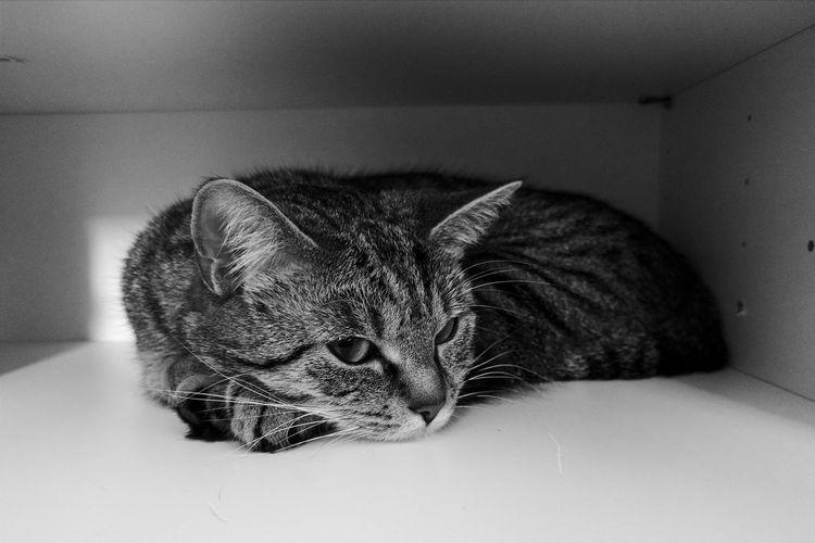 Cat relaxing in shelf