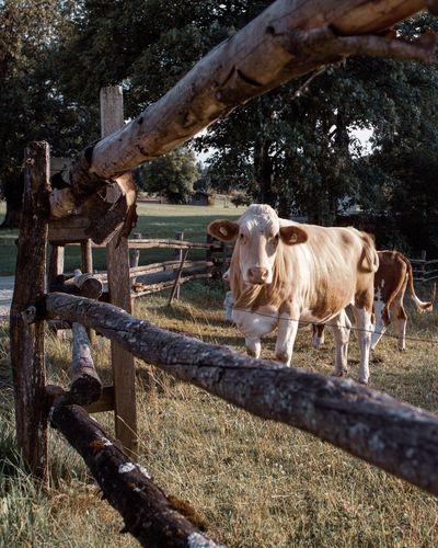 Nature Cow Animal Mammal Animal Animal Themes Domestic Animals Livestock Domestic Vertebrate Pets Group Of Animals Sunlight Day Nature Tree Barrier