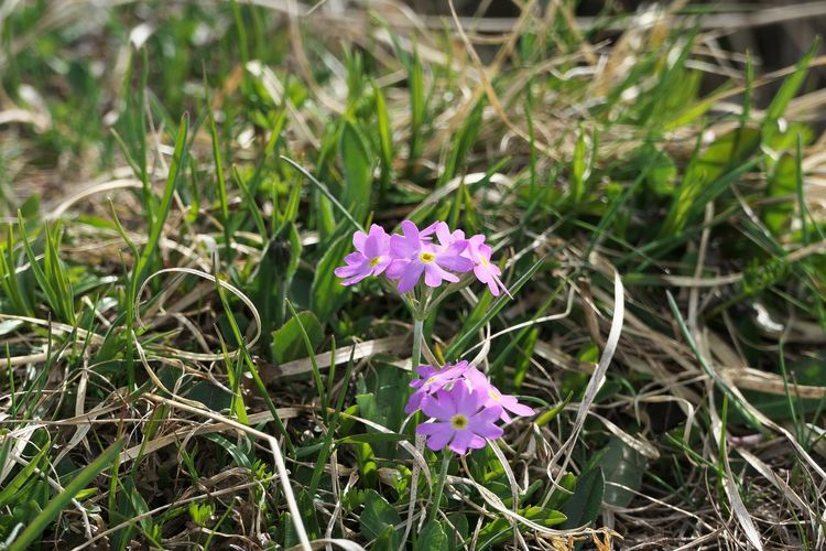 Flowering Plant Flower Plant Freshness Fragility Vulnerability  Beauty In Nature Growth Petal Close-up Nature Land Flower Head Inflorescence Day Purple No People Pink Color Grass Outdoors Springtime
