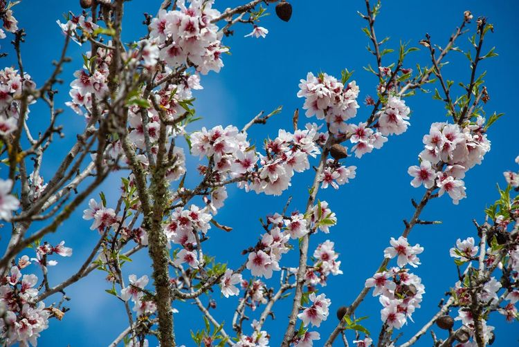 Almond blossoms Mallorca Balearic Islands Spanish SPAIN Mallorca Almonds Beauty In Nature Flower Flowering Plant Growth Plant Sky Tree Branch Blue Low Angle View Freshness Fragility Nature Day No People Vulnerability  Clear Sky Blossom Tranquility Springtime