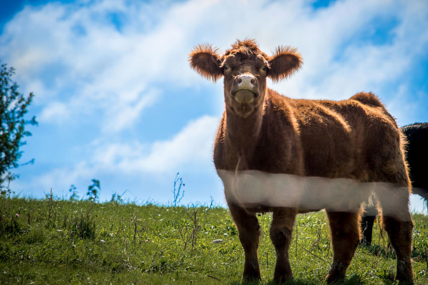 Grass Green Livestock Looking At Camera Low Angle View Pasture Blue Clouds Cow Ear Female Cow Fluffy Interest Live Mammal No People One Animal. Rual