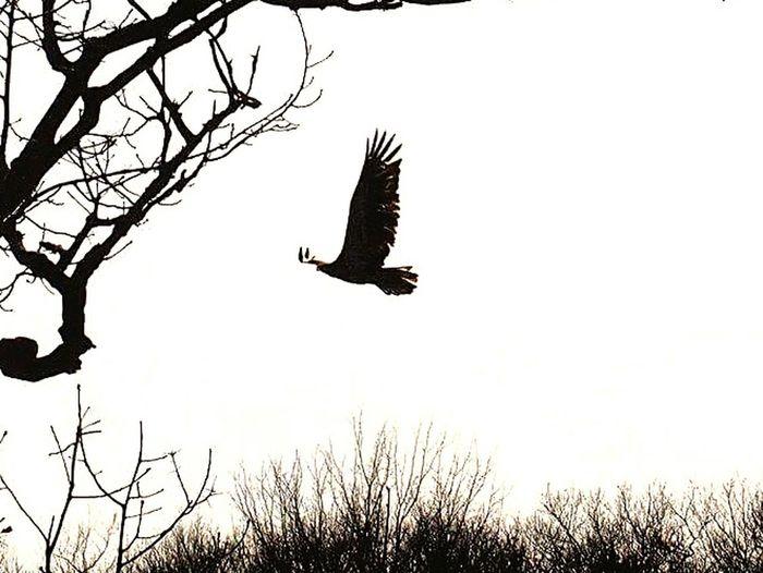 Young Eagle Bald Eagle Eagle In Flight