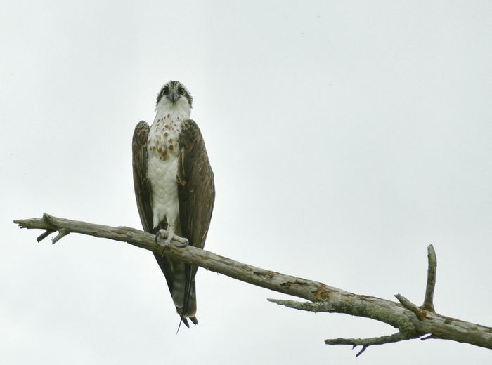 Osprey  Birdwatching Looking Down Tree Branches Sky Bird Photography Florida Gray Sky