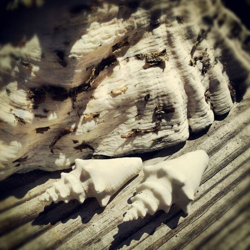 Conch Shells Conchshell Shell Ocean Niceone instaphoto treasures
