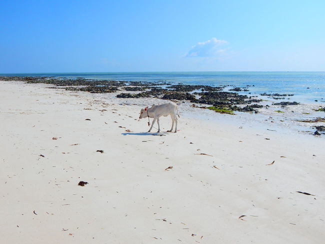 Animal Themes Beach Beachphotography Beauty In Nature Cow Day Dog Domestic Animals Horizon Over Water Mammal Nature No People One Animal Outdoors Pets Sand Scenics Sea Sky Water