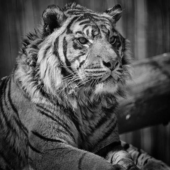 Tigre Tiger Nature Blackandwhite Félin  Sauvage Pet Pets Nikon Nikonfr