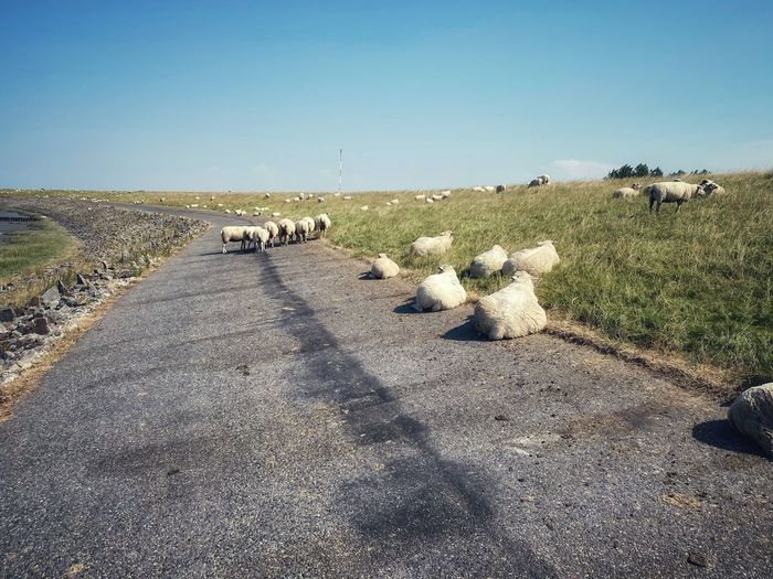 View of sheep on road